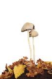 Giftsvampar Arkivfoton