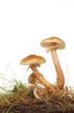 giftsvampar Fotografering för Bildbyråer