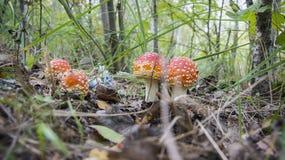 Giftsvampar i gräset royaltyfria foton