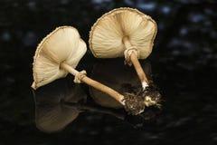 Giftsvampar i gräsgräsplanen champinjonfoto, amanitachampinjon, Arkivbilder