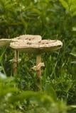 Giftsvampar i gräsgräsplanen champinjonfoto, amanitachampinjon, Arkivbild