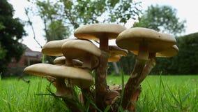 Giftsvampar på en trädgårds- gräsmatta Royaltyfri Fotografi