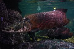 Giga Arapaima. Swimming slowly in the tank of the aquarium Royalty Free Stock Images