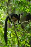 Gigant czarny wiewiórka Obrazy Royalty Free