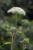 gigant hogweed Obrazy Stock