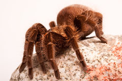 Gigant Spider on Rock Stock Photos