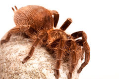 Gigant Spider on Rock Stock Photography