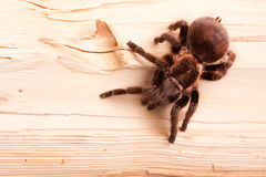 Gigant Spider on Wood Royalty Free Stock Photo