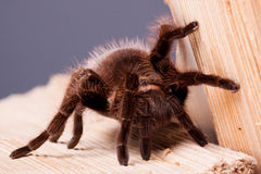 Gigant Spider on Wood Stock Photo