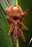 Gigant Spinne auf Blatt Stockfoto