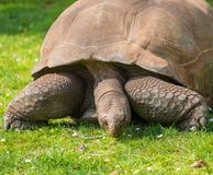 Gigant tortoise Stock Photos