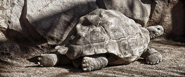 Gigant turtle Royalty Free Stock Photo