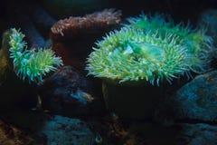 Gigant?w anemon?w Anthopleura zielony xanthogrammica fotografia royalty free