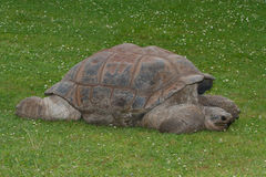 Giganta Galapagos tortoise na trawie Zakończenie Fotografia Royalty Free