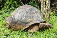 Giganta Galapagos tortoise odprowadzenie przez błota Zdjęcie Royalty Free