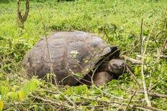Giganta Galapagos tortoise robi swój sposobowi przez niskiej trawy na Santa Cruz Zdjęcie Stock