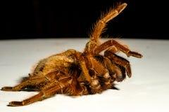 Giganta Goliath Birdeater tarantula fotografia stock