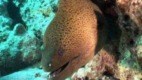 Giganta Gymnothorax Javanicus mureny węgorze w czystej przejrzystej wodzie Czerwony morze zdjęcie wideo