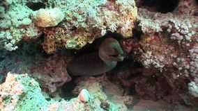 Giganta Gymnothorax Javanicus mureny węgorze w czystej przejrzystej wodzie Czerwony morze zbiory