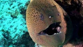 Giganta Gymnothorax Javanicus mureny węgorze w czystej przejrzystej wodzie Czerwony morze zbiory wideo