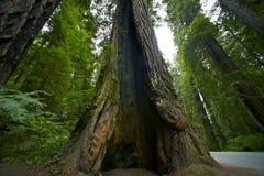 Giganta Krakingowy Redwood Fotografia Stock