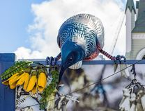 Giganta Tui rzeźba w Wellington, Nowa Zelandia Zdjęcia Stock