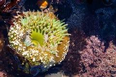 Giganta Zielony anemon, Fitzgerald żołnierza piechoty morskiej rezerwa, Kalifornia obrazy stock