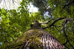 Giganta zielony klon Zdjęcie Royalty Free