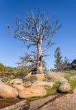 Gigante, árbol muerto solitario en rocas, mucha altitud en el bosque de la montaña, con un cielo azul y un fondo verde del bosque Imagen de archivo