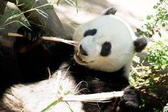 Gigante animal posto em perigo Panda Eating Bamboo Stalk dos animais selvagens imagens de stock royalty free