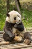 Gigante asentado Panda Bear Adult Chewing en el hielo Foto de archivo libre de regalías