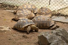 Gigante asiático que muchas tortugas se relajan y durmiendo en el parque zoológico imágenes de archivo libres de regalías