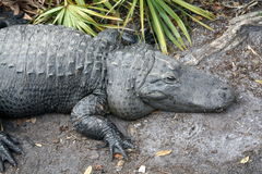 Gigante del cocodrilo Fotos de archivo libres de regalías