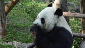 Gigante divertido Panda Eating Bamboo almacen de video