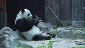 Gigante divertido Panda Eating Bamboo almacen de metraje de vídeo