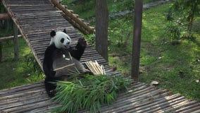Gigante divertido Panda Eating Bamboo metrajes