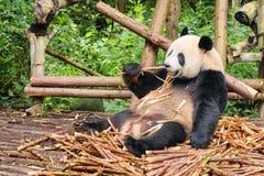 Gigante divertido Panda Eating Bamboo Animal salvaje que sorprende en bosque fotografía de archivo libre de regalías