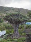 Gigante famoso do millenario do drago do EL 2000 anos de árvore velha do draceana dentro foto de stock