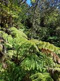 Gigante Fern Trees Immagine Stock