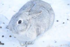 Gigante gris de la raza lo mismo de gran tamaño El peso de un animal adulto es 4-7 kilogramos, pero más a menudo hay individuos e Foto de archivo libre de regalías