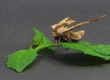 Gigante hermoso de la mariposa Fotos de archivo