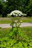 Gigante hogweed Imagem de Stock
