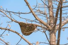 Gigante Honey Bee On Tree Fotografía de archivo libre de regalías