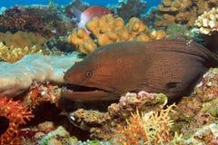 Gigante Moray Eel Fotografia Stock Libera da Diritti