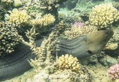 Gigante Moray Eel Fotografía de archivo libre de regalías