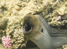 Gigante Moray Eel Fotos de archivo libres de regalías