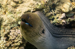Gigante Moray Eel Fotografía de archivo