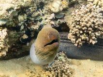 Gigante Moray Eel Fotos de archivo