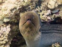 Gigante Moray Eel Imágenes de archivo libres de regalías