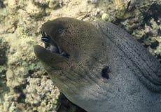 Gigante Moray Eel Imagen de archivo libre de regalías